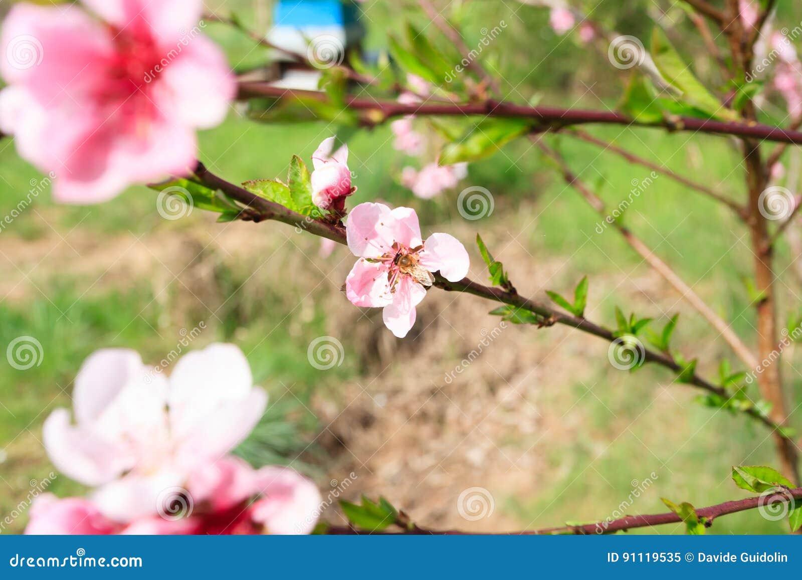 Abelha na flor do pêssego beekeeping