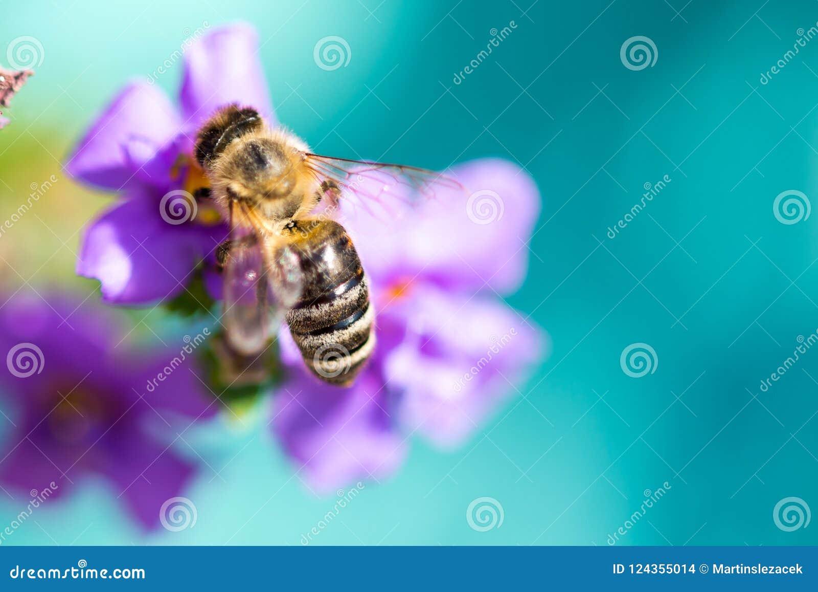 Abelha na flor O inseto útil pequeno é de trabalho e de fatura o mel Abelha com a asa na flor Mola no campo de mim