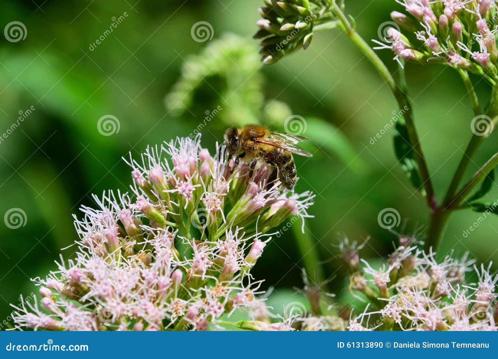 Abelha obstruída para florescer o pólen