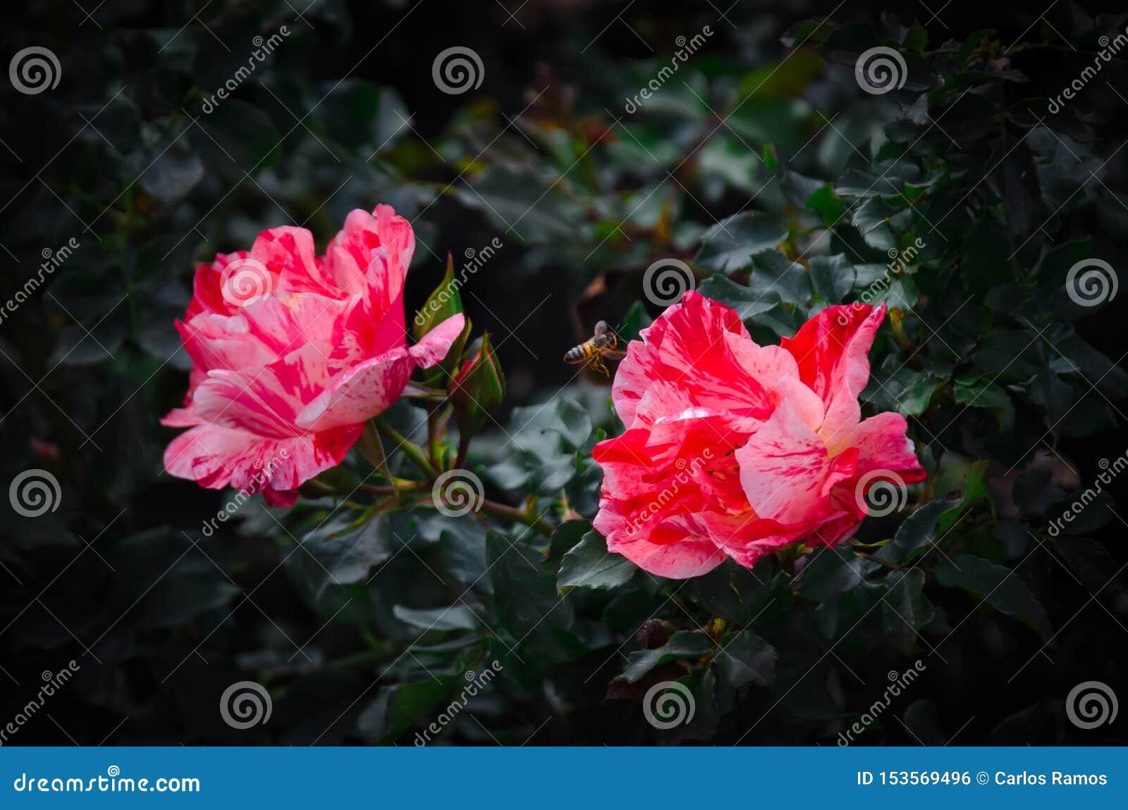 Abelha que poliniza o jardim botânico de Bogotá das flores vermelhas