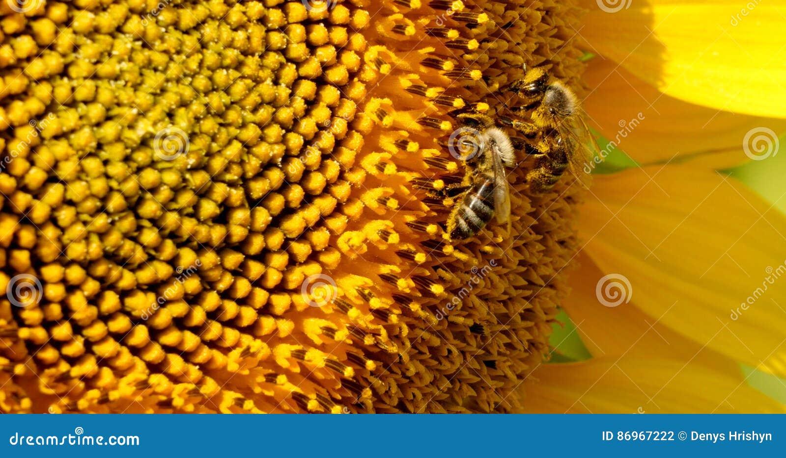 A abelha recolhe o pólen no girassol
