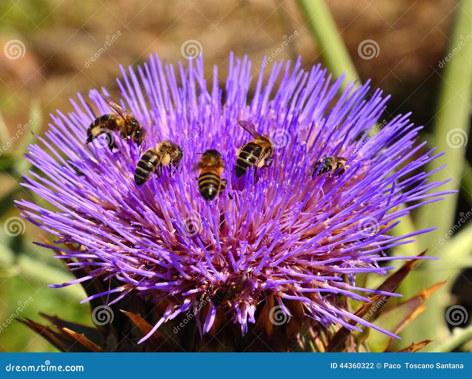Abelhas dentro da flor da alcachofra