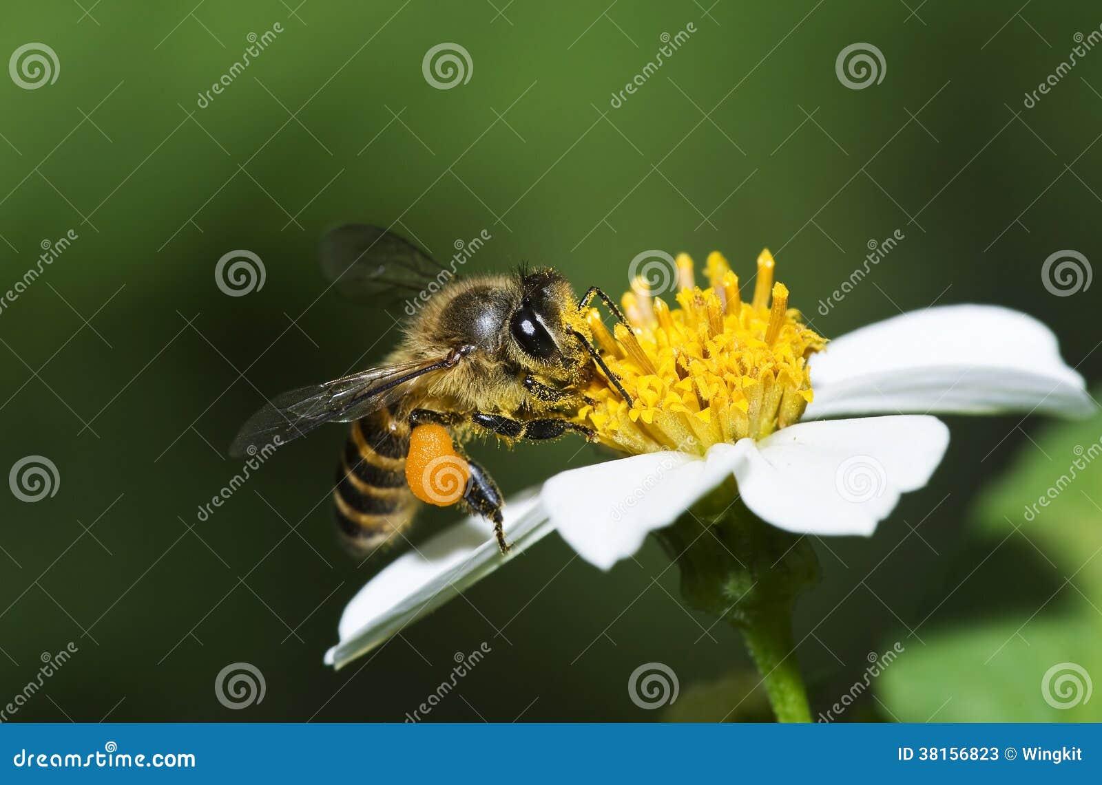 Abelhas do mel