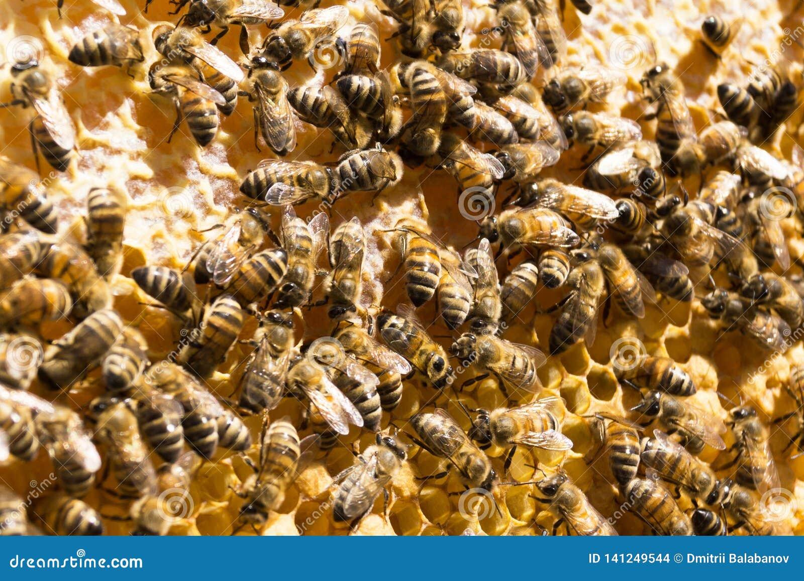 Abelhas no favo de mel com mel beekeeping Imagem de fundo