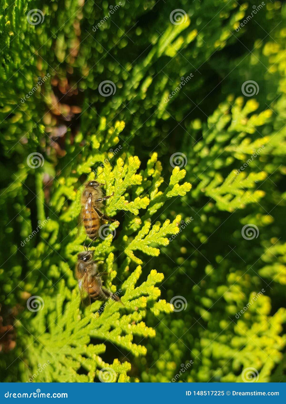 Abelhas que são abelhas em torno das árvores