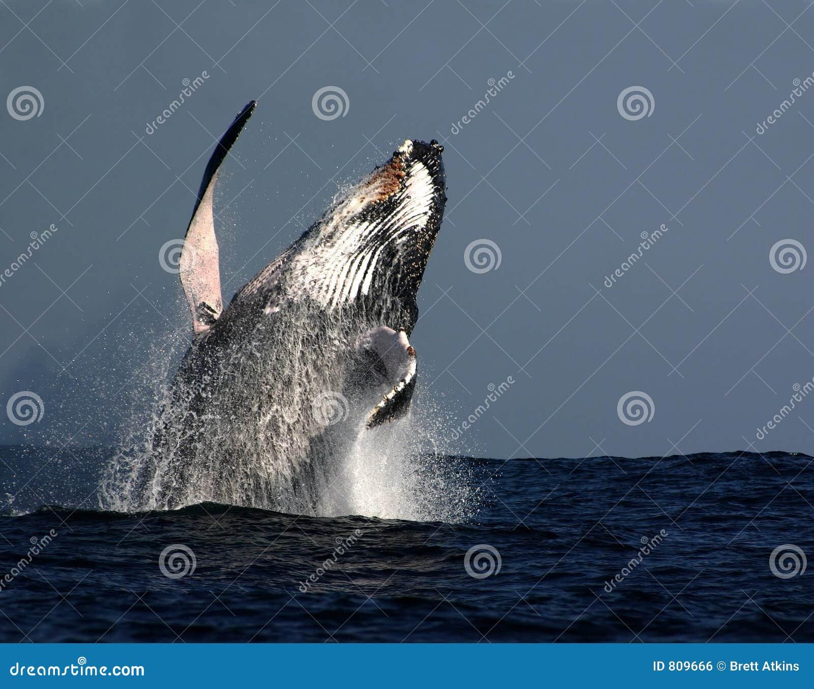 Abertura de la ballena de Humpback