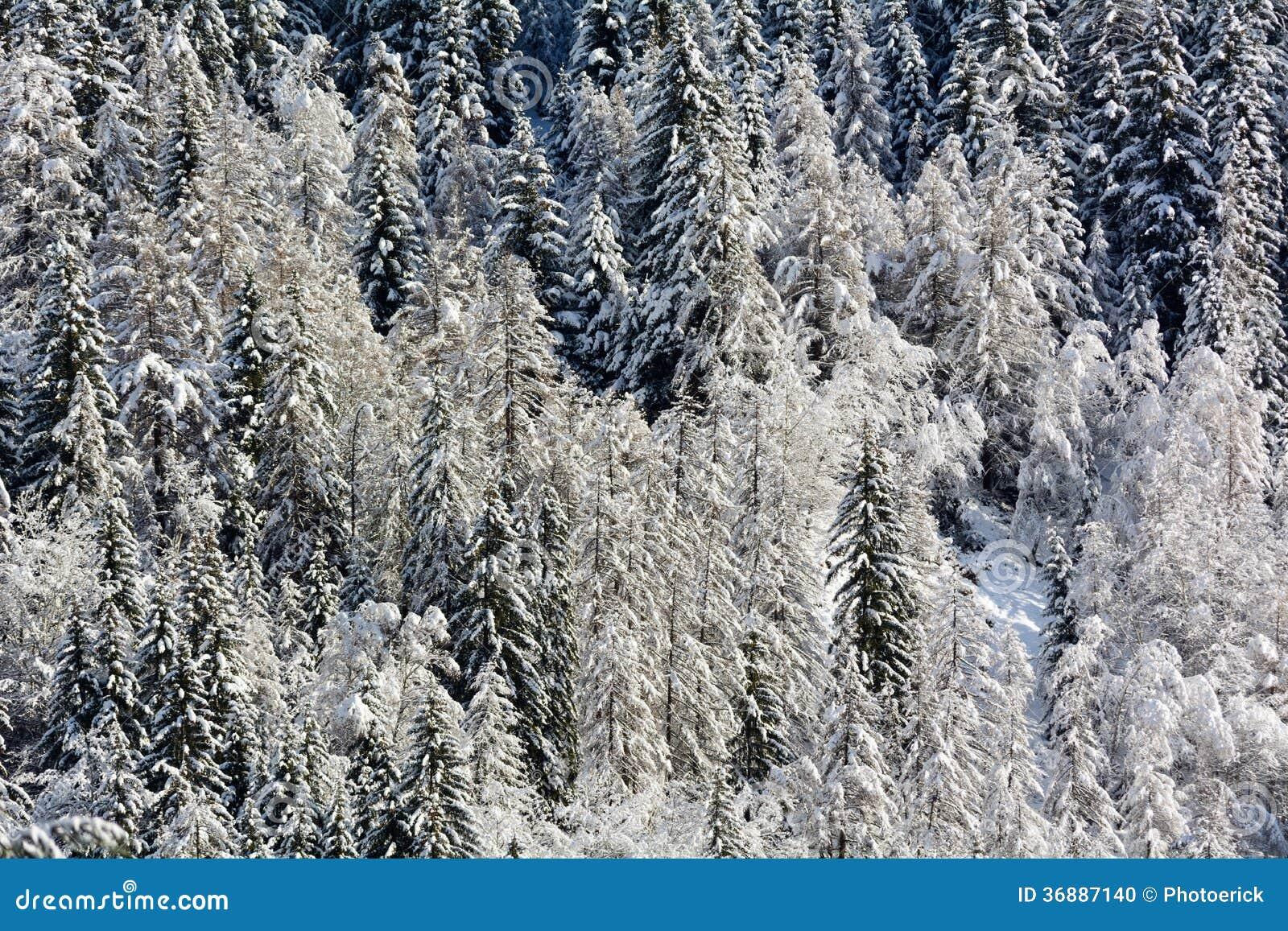 Download Abetaia di Snowy fotografia stock. Immagine di larice - 36887140