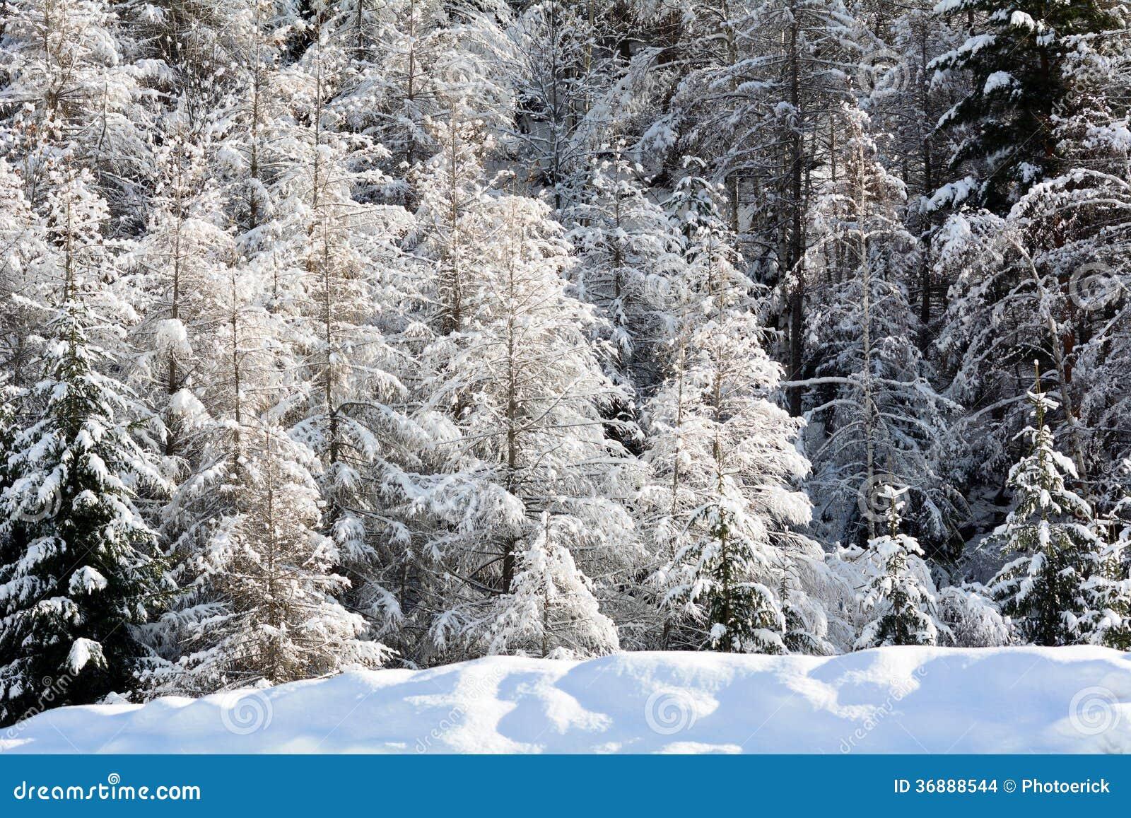 Download Abetaia di Snowy fotografia stock. Immagine di hiking - 36888544