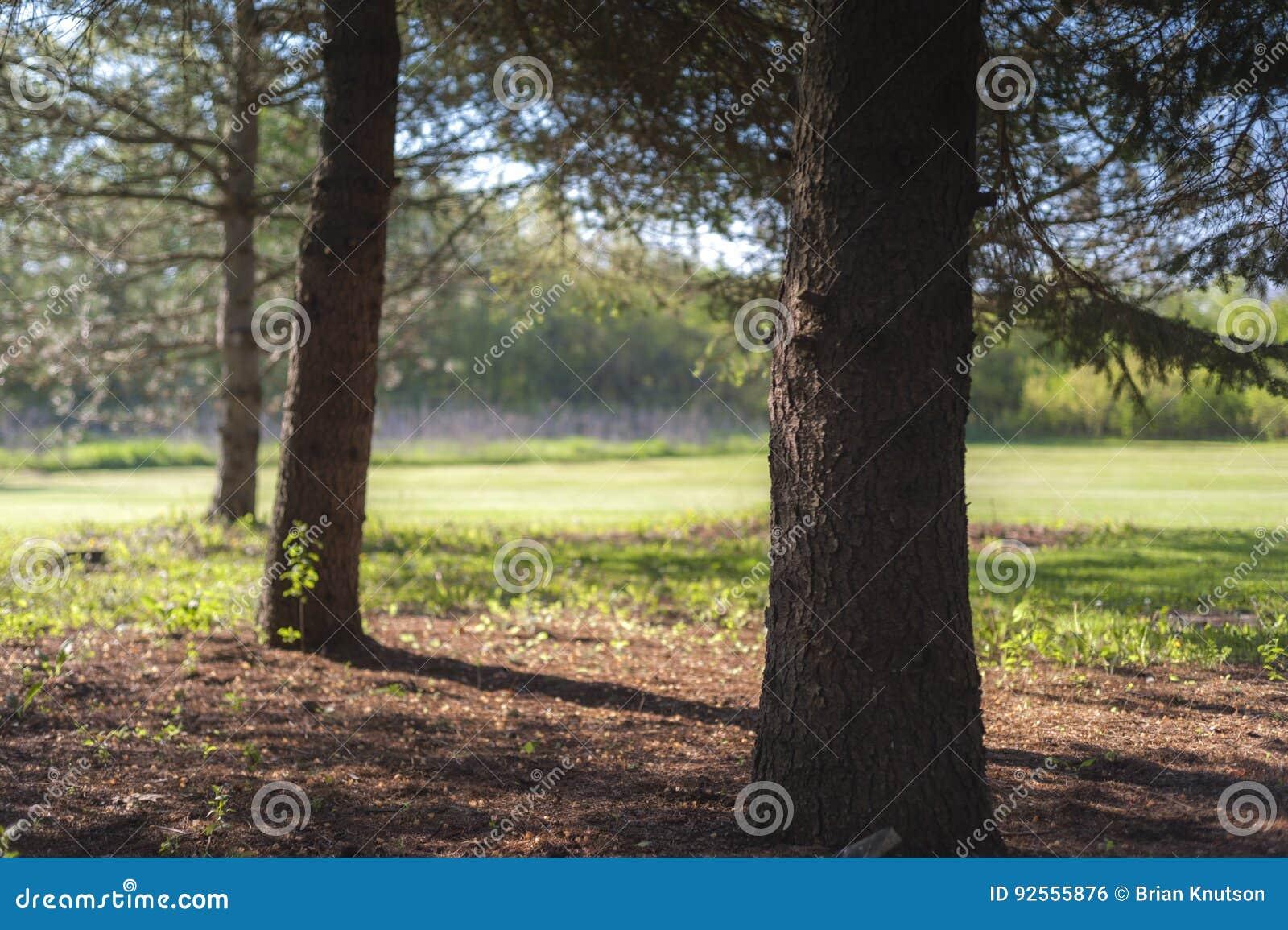 Abeti sull orlo di un parco