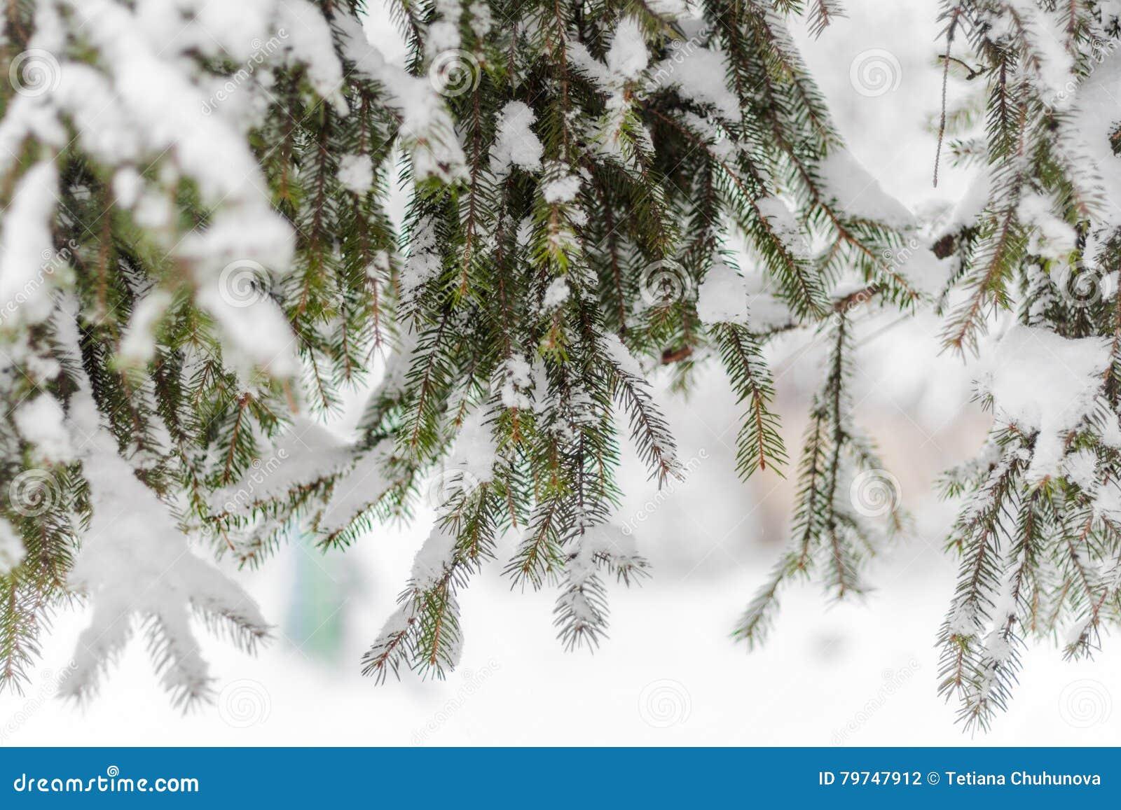 Abeto verde derramado con nieve gruesa
