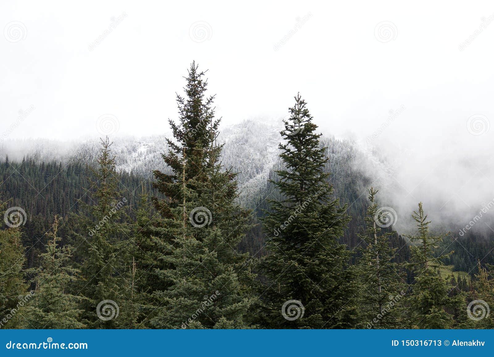 Abeto vermelho sempre-verde bonito e picos neve-tampados da floresta