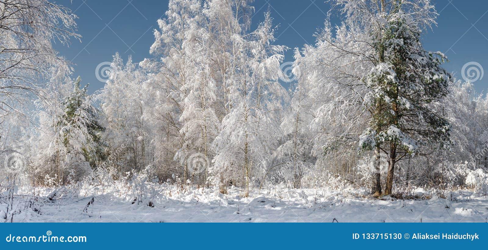 Abetos Nevado en bosque del invierno en las nevadas/la madera de la nieve en su