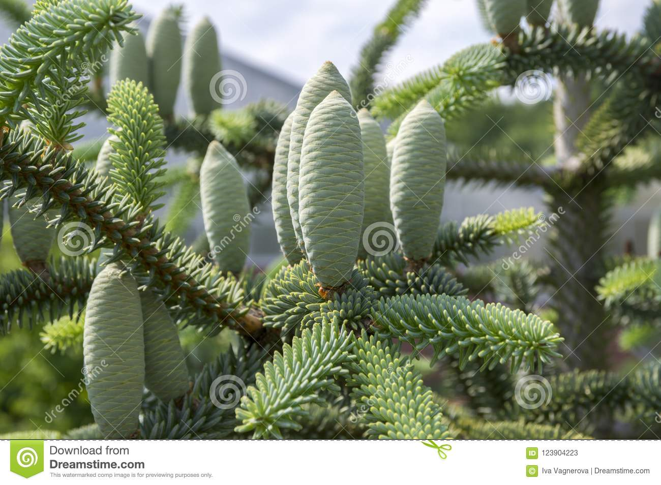 Abies Pinsapo Coniferous Tree Branches Full Of Needles And With