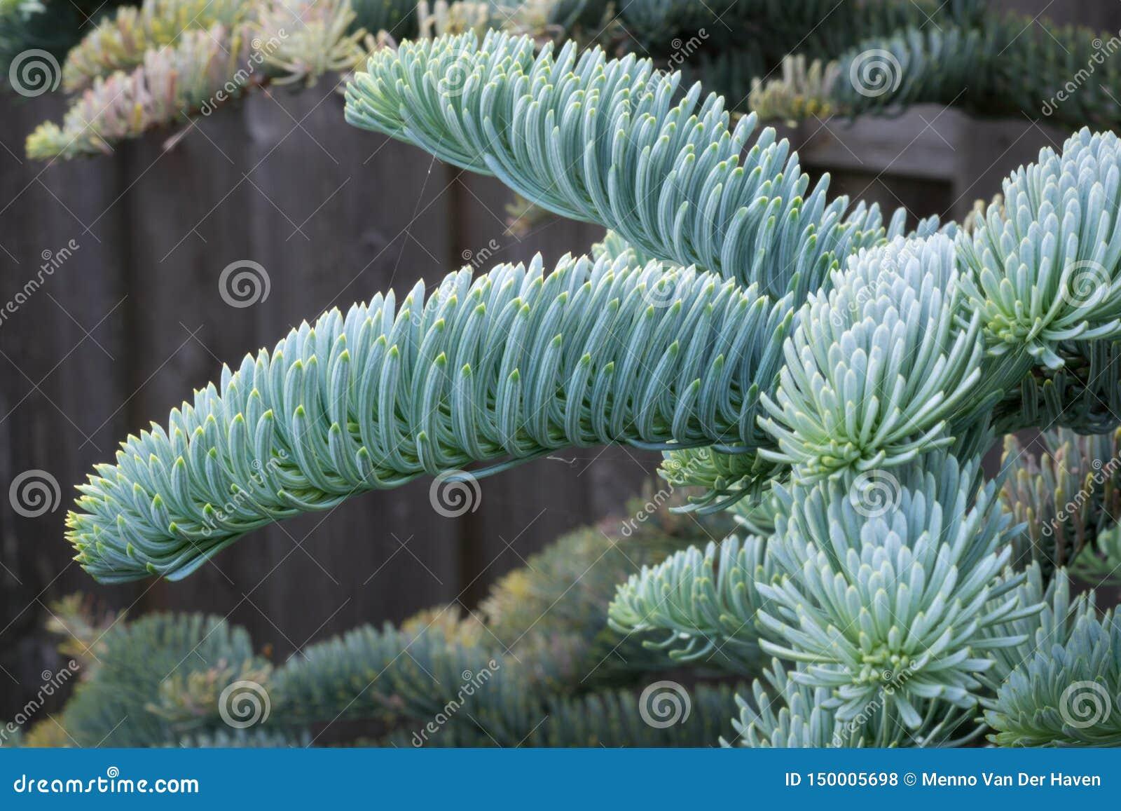 Abies procera glauca & x28年轻射击;高尚的fir& x29;在春天在一个植物园里 色的美丽软蓝色银色