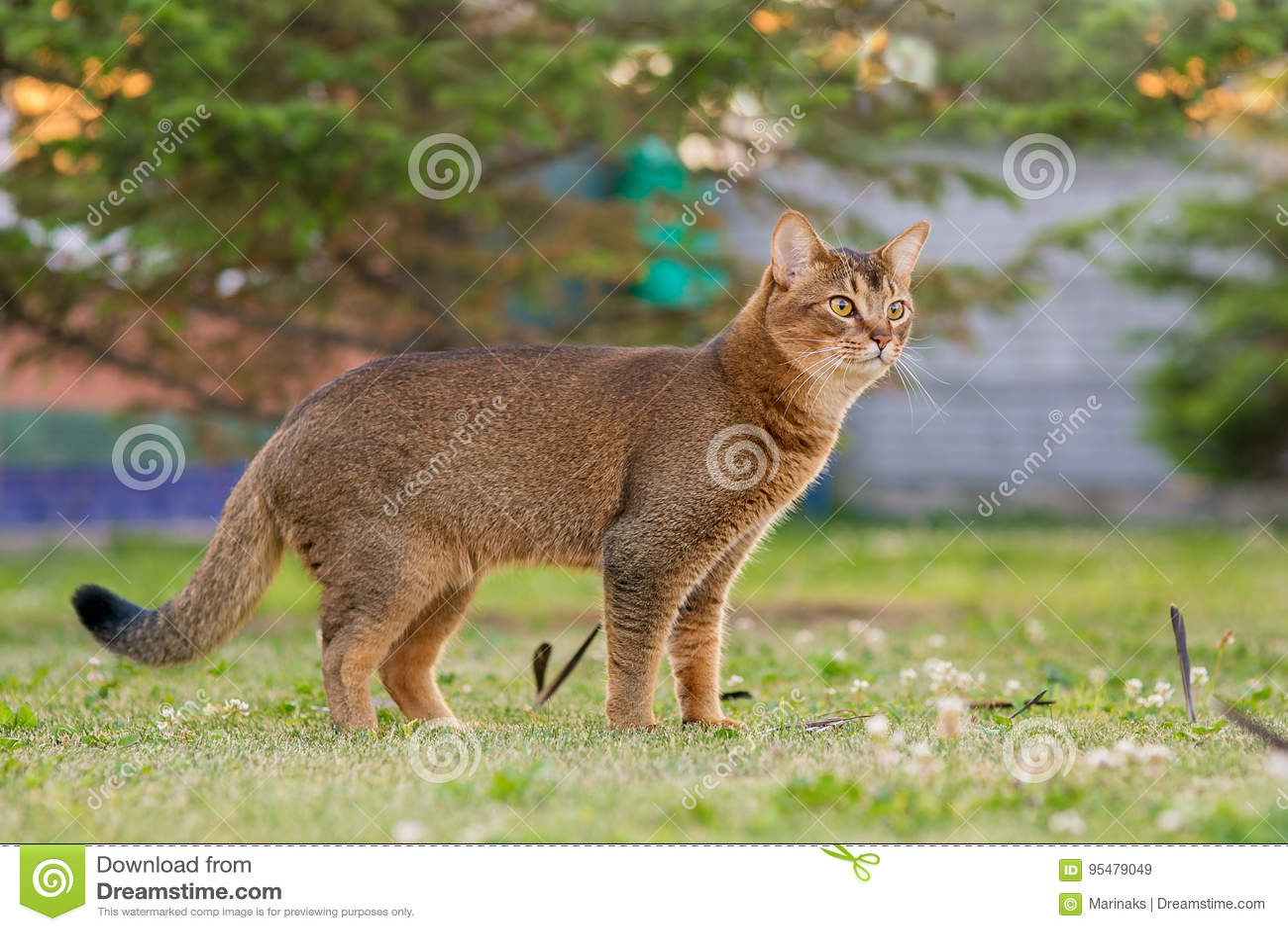 Abisyński kot tropi ptaka