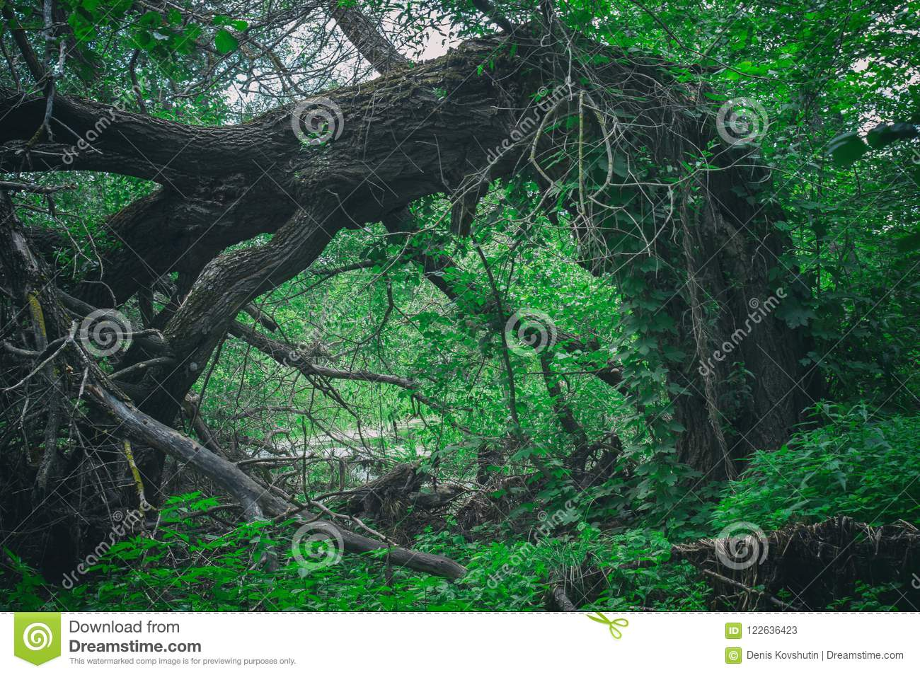 Abnormal frightening scary fallen big tree in a dense forest in the form of a gate. Entrance door to dark forest thicket