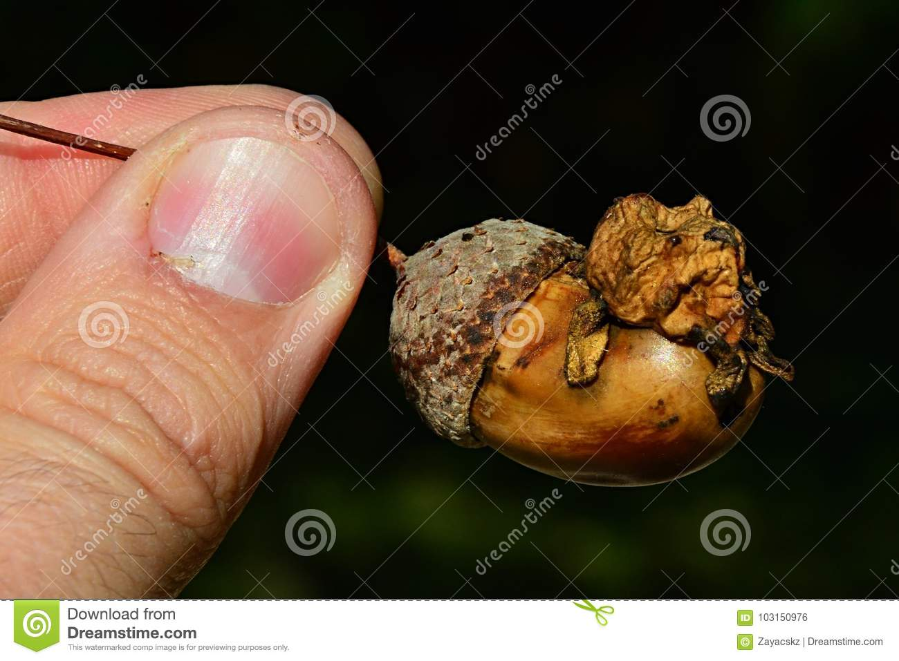 Abnormal Structure On Acorn Of Oak Tree Quercus Family Called Acorn ...