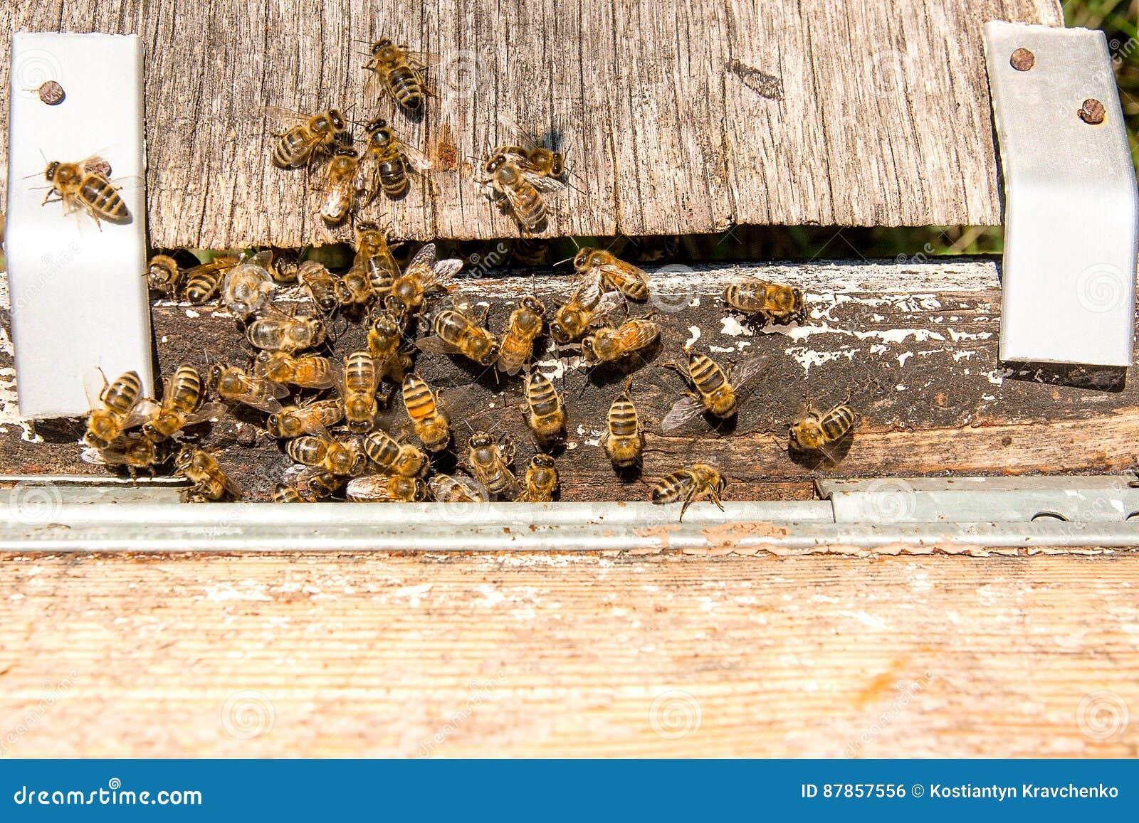 Abondance des abeilles l 39 entr e de la ruche dans le for Abeilles dans la maison