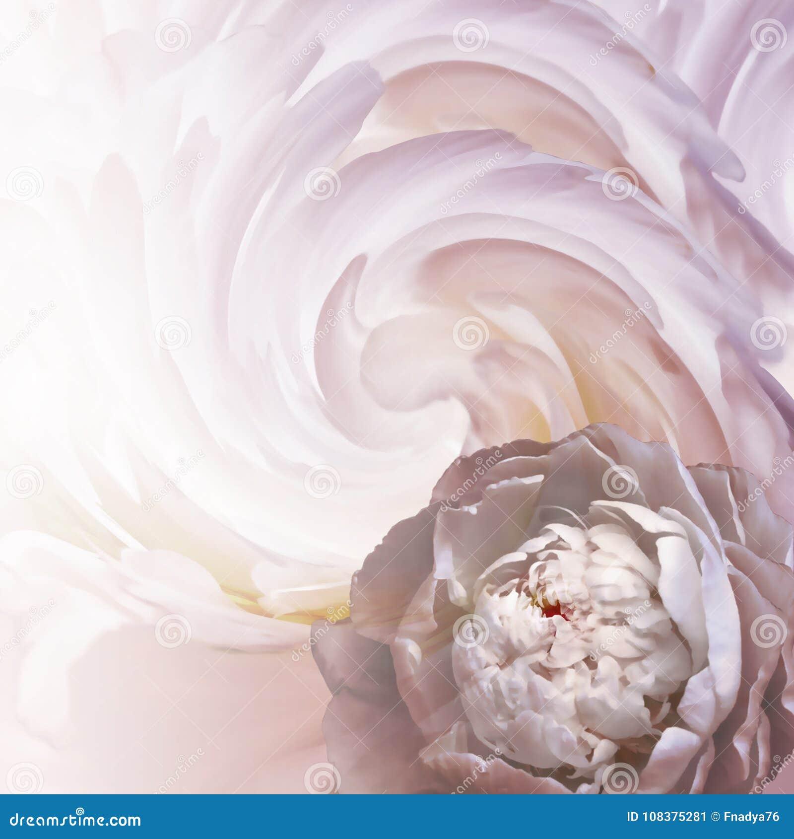 Abregez Le Fond Floral Une Fleur D Une Pivoine Blanc Rose Sur Un