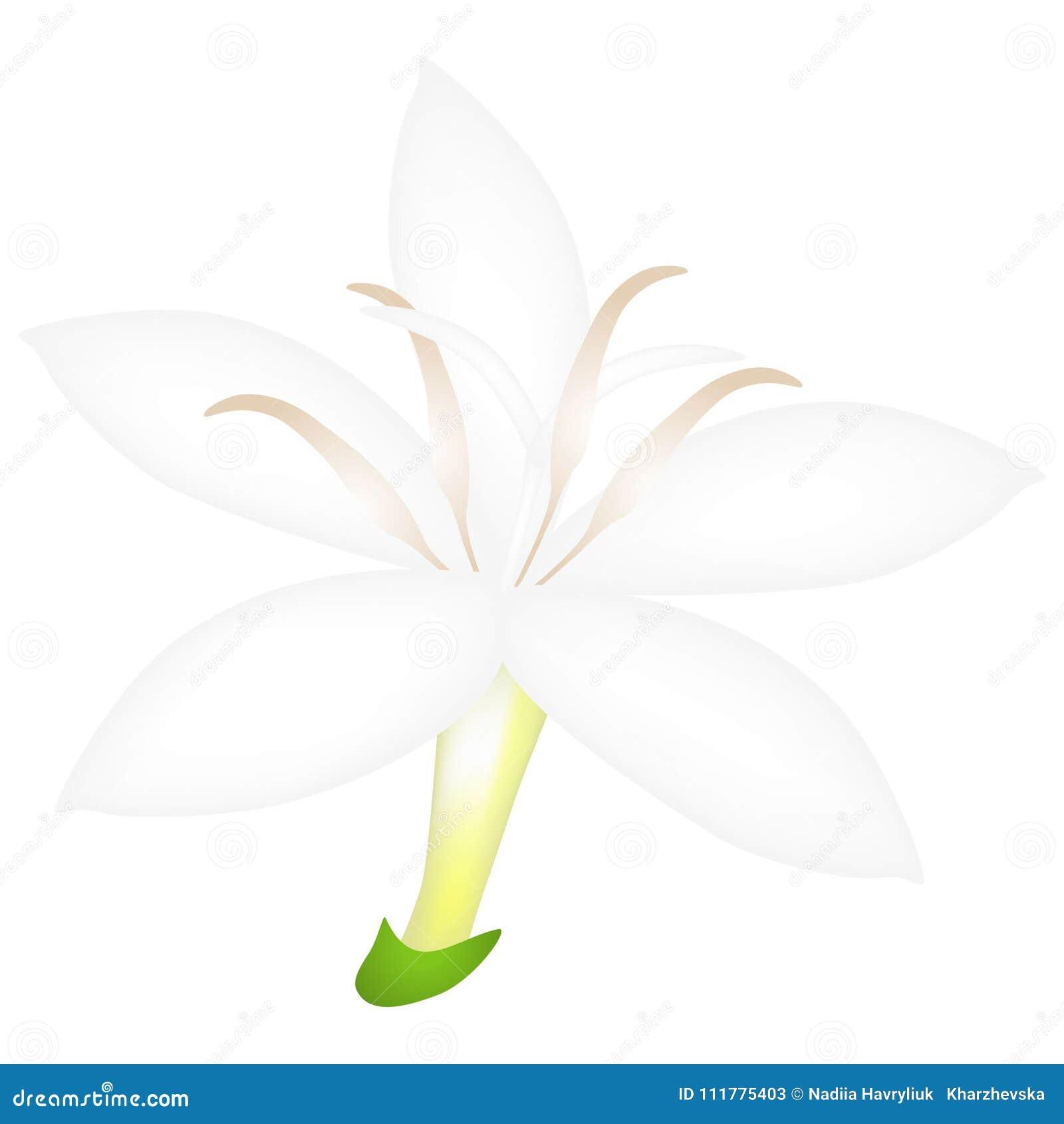 Abra la flor del café aislada en el fondo blanco