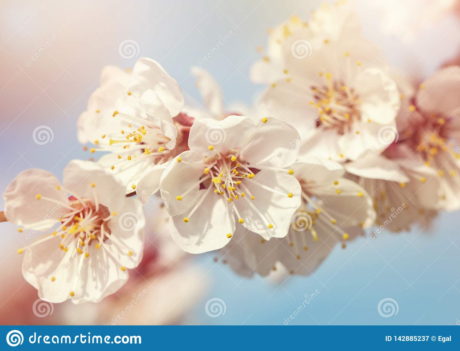 Abricotier de floraison