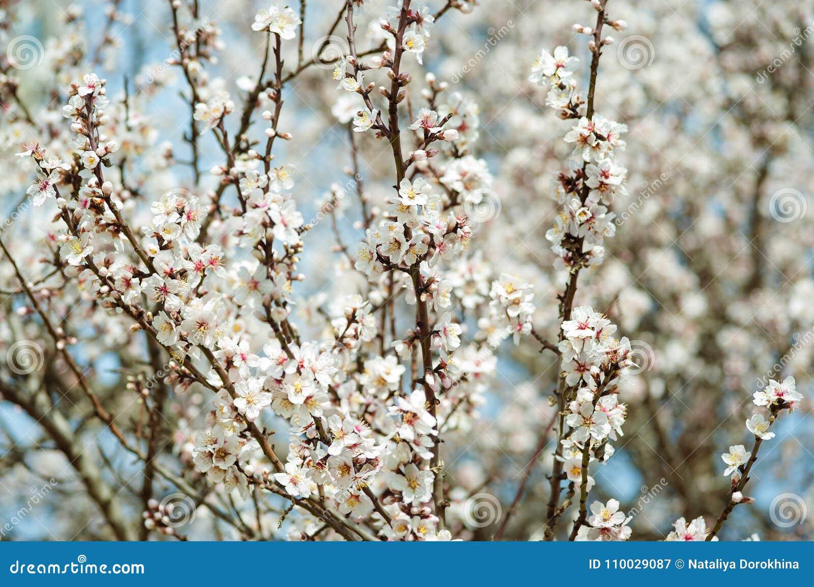 Abrikozenbloemen in de lente, bloemenachtergrond