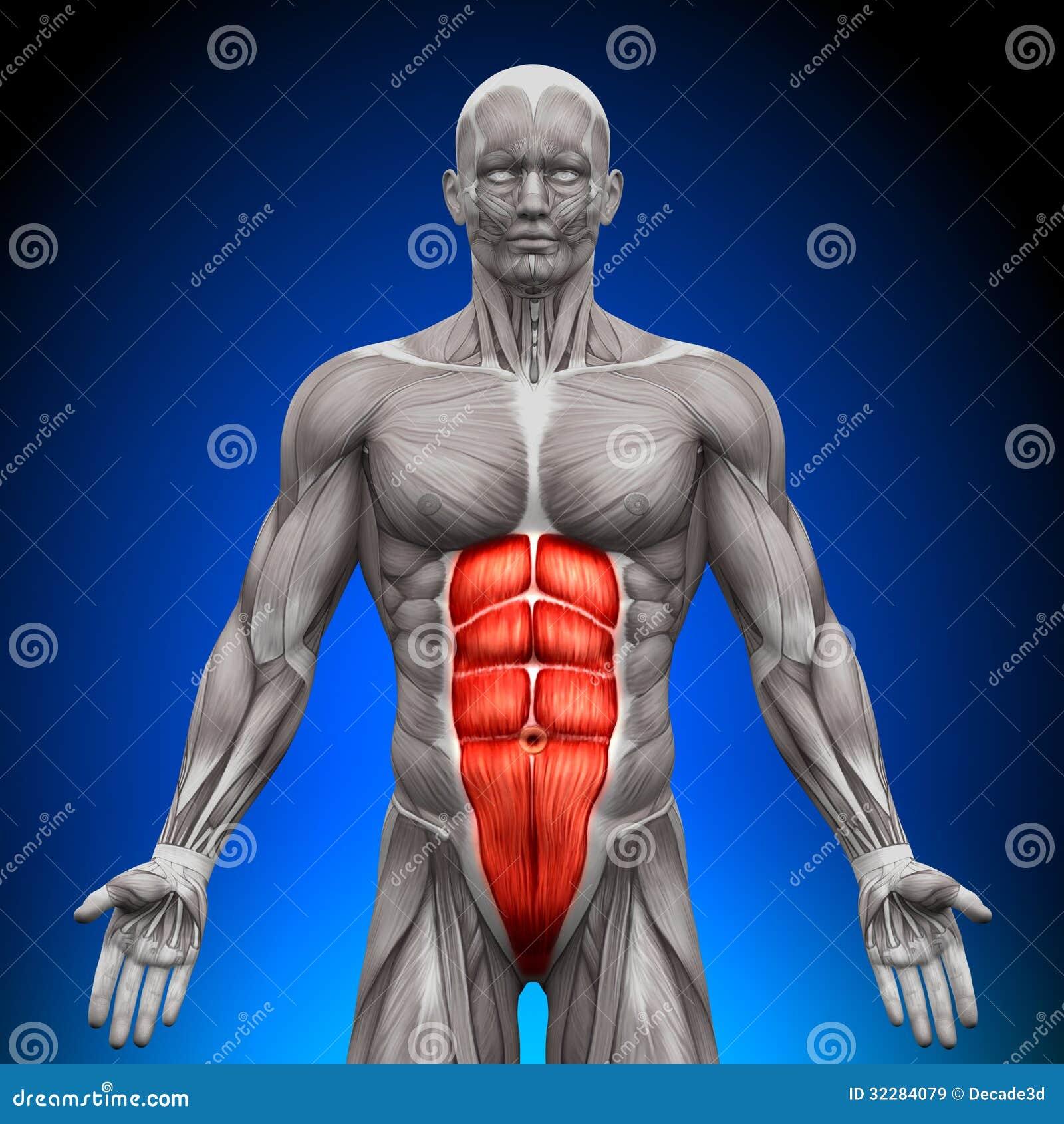 ABS - Músculos De La Anatomía Stock de ilustración - Ilustración de ...