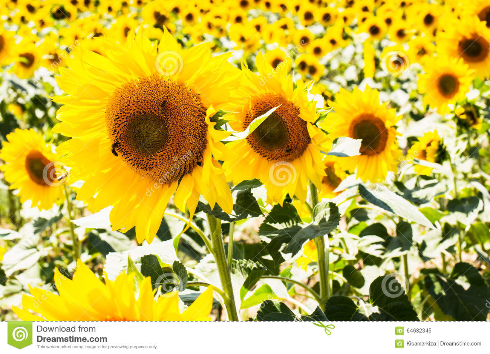 Abschluss drei herauf schöne Sonnenblumen in Folge an