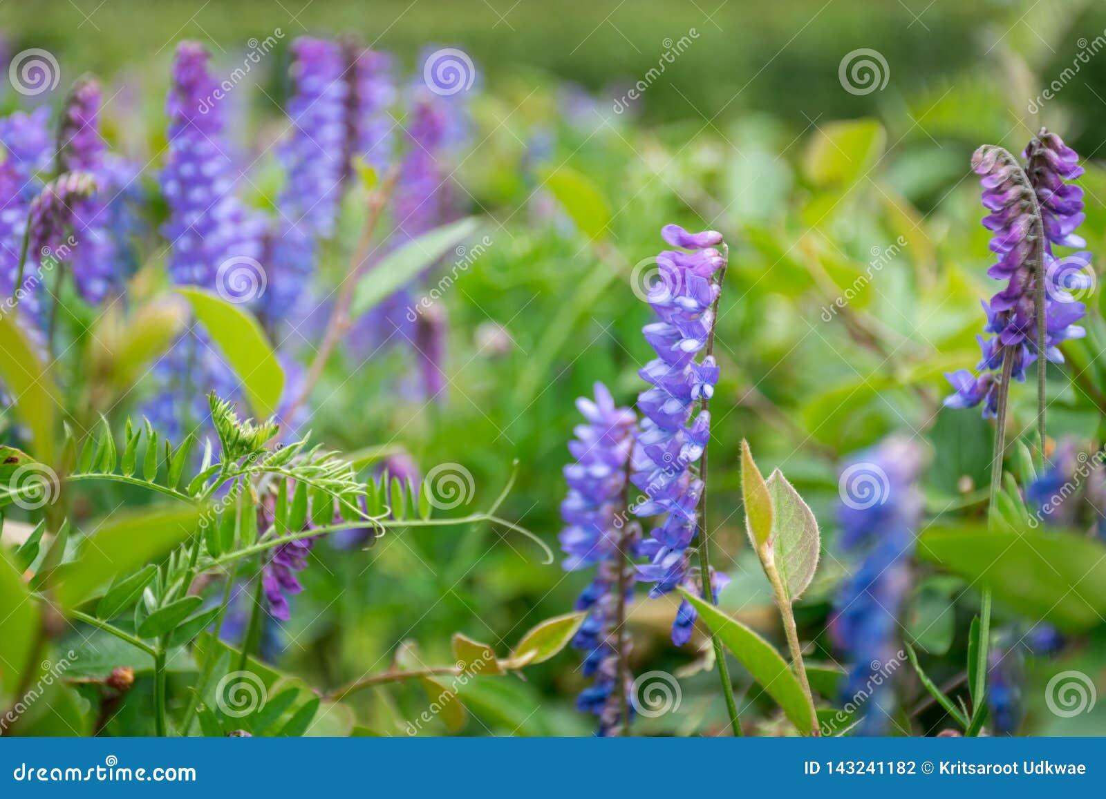 Abschluss herauf blau-violette Blumen im Garten
