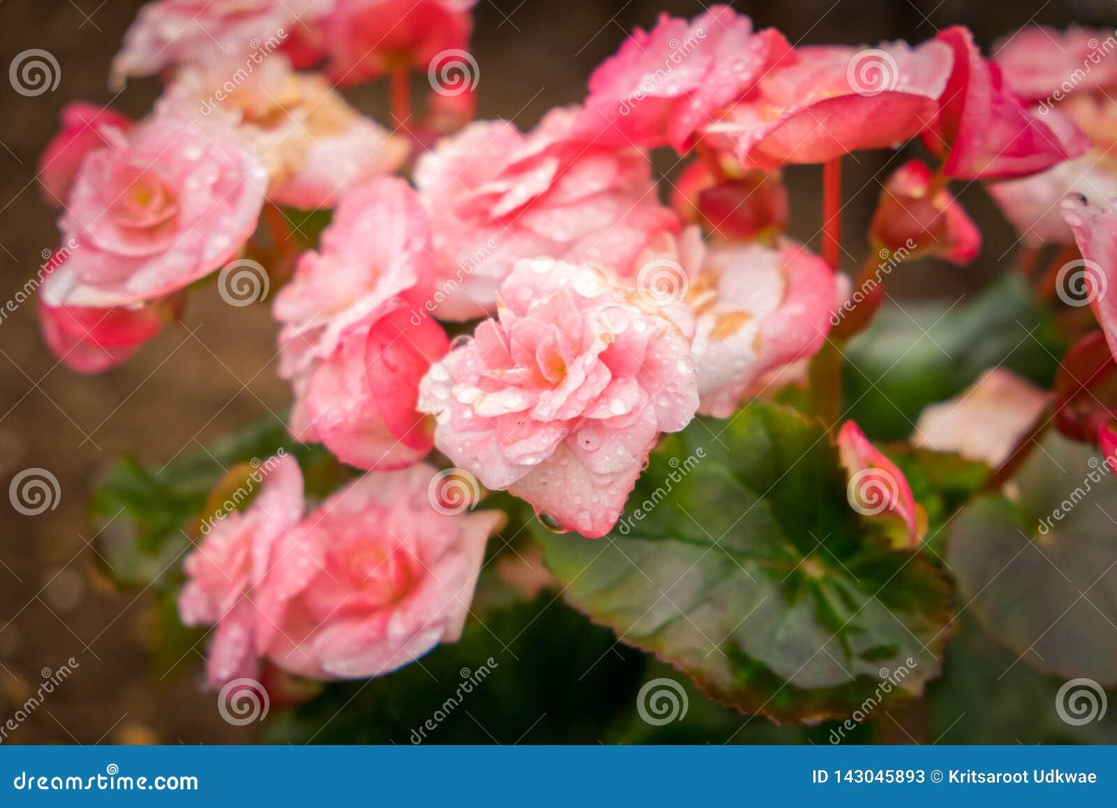 Abschluss herauf bunte Rosen mit Wassertropfen des Gartens
