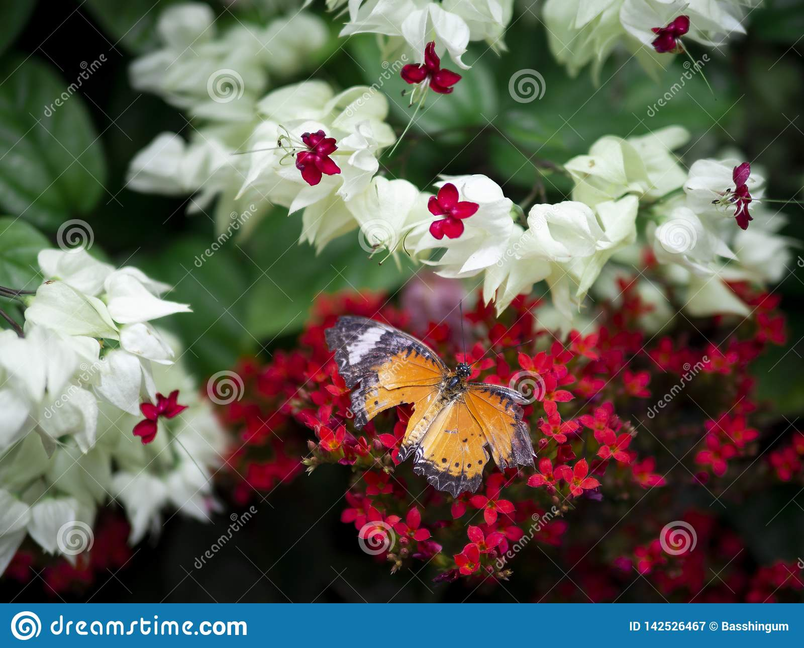 Abschluss herauf defekter orange Schmetterling des Flügels einfaches Tiger Danaus-chrysippus chrysippus auf roter Blume mit grüne
