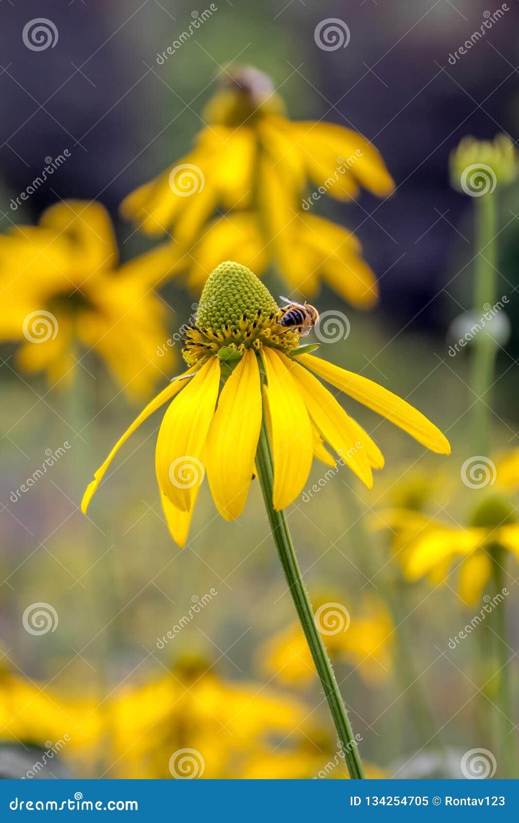 Abschluss hirta der Rudbeckia irischer Augen Rudbekia 'oben und eine Biene