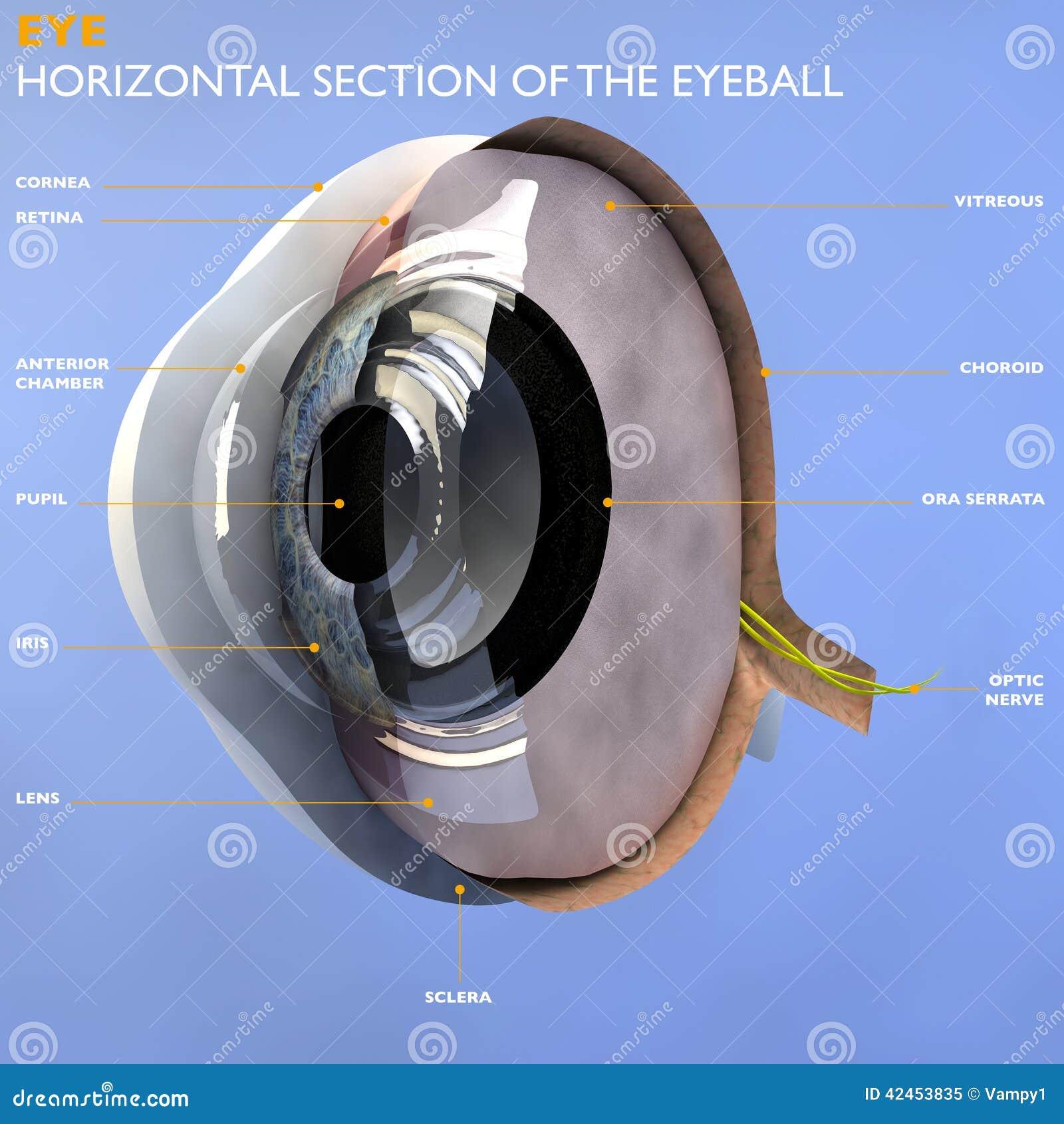 Abschnitt eines Auges