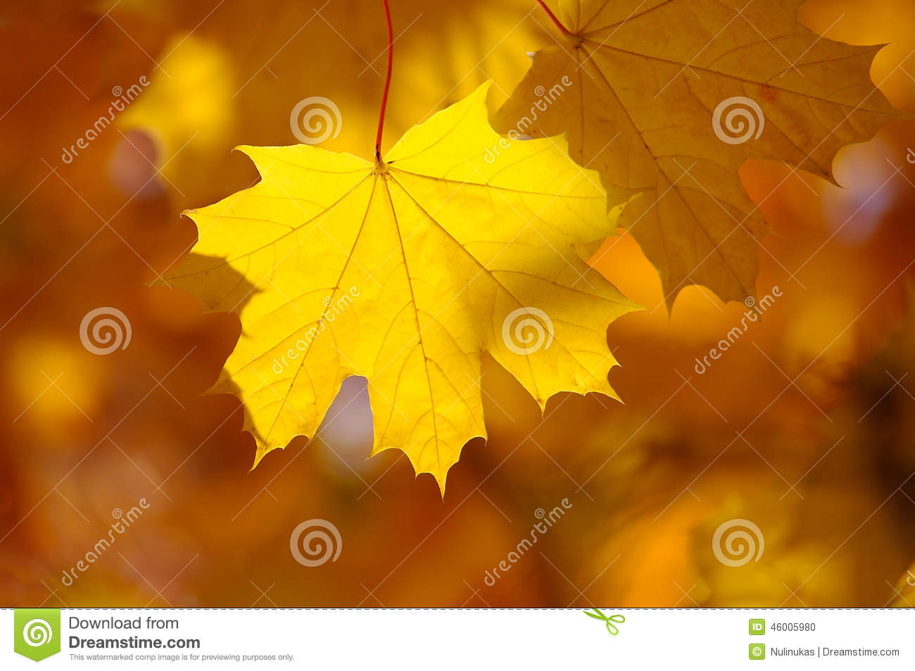 Abstract autumn background, old orange maple leaves,