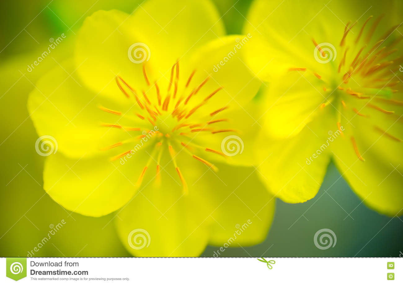 abstract background closeup of yellow apricot flowers bloom in the new year s day
