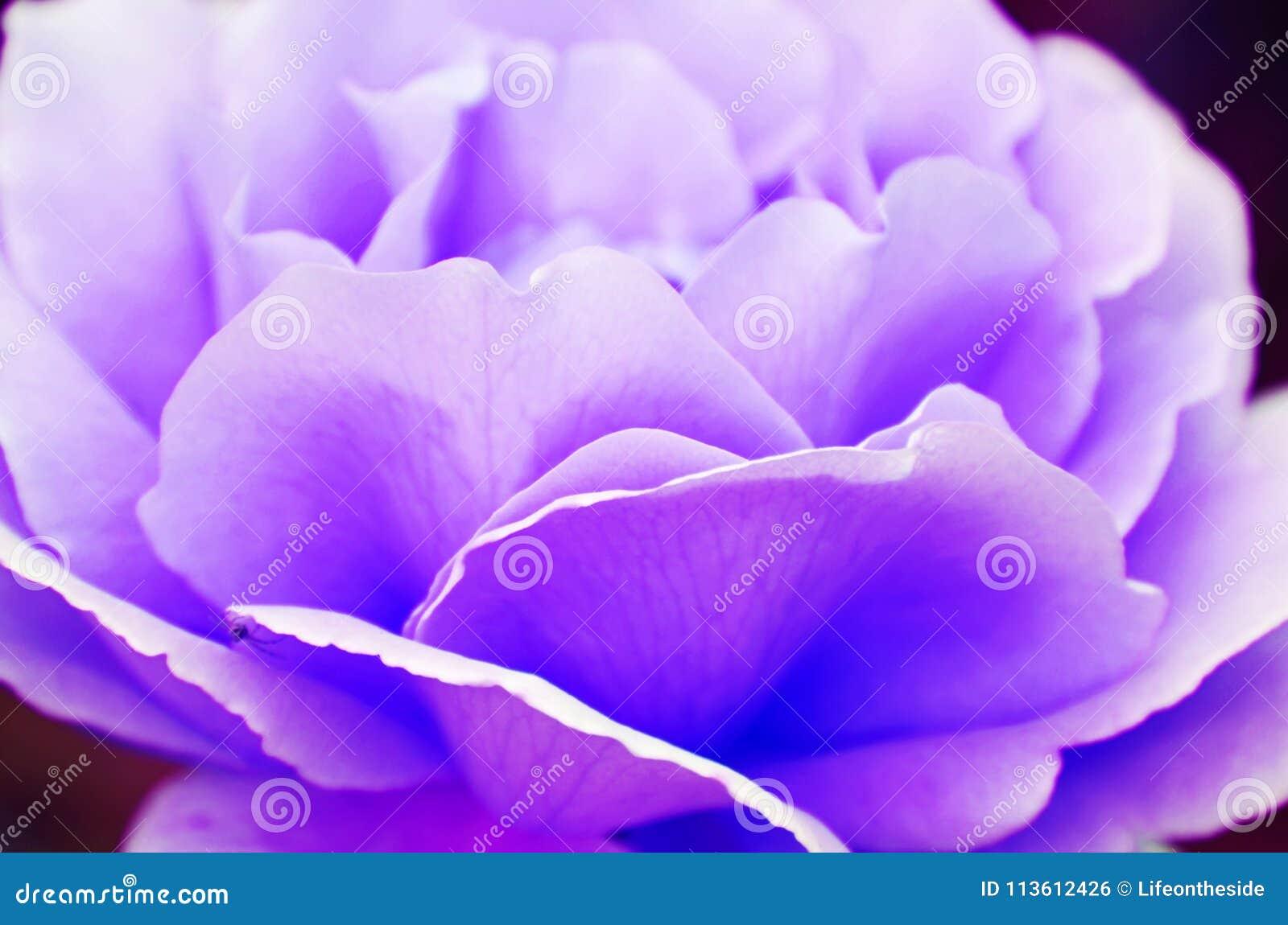 Abstract background fragile soft violet purple lavender rose petals