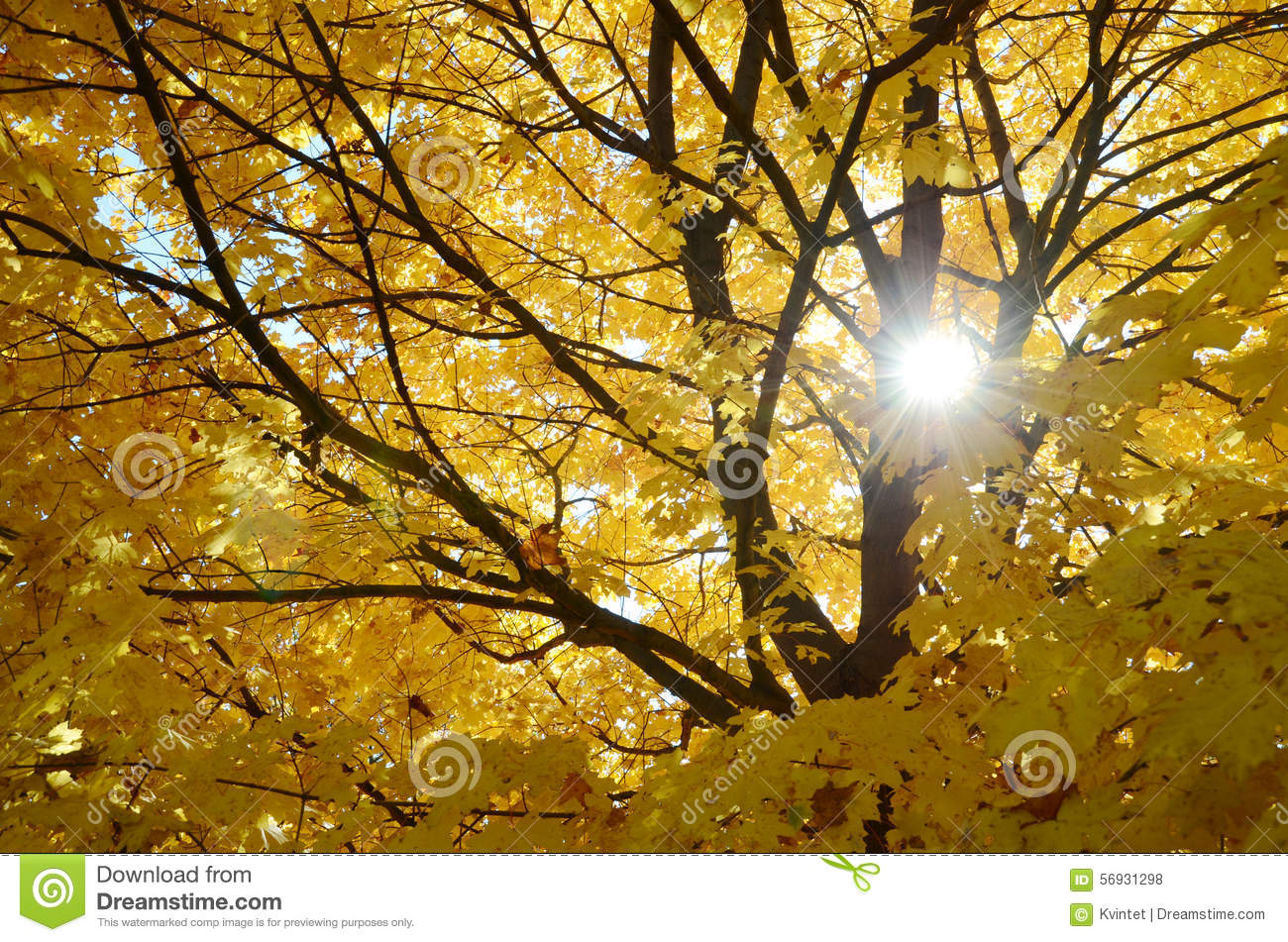 Abstract background from leaves and branches of the maple tree and the sun
