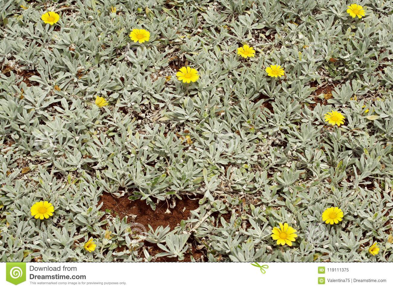 Abstract background of succulent plant stock image image of ground close up background of spontaneous branching of succulent plant with yellow flowers mightylinksfo