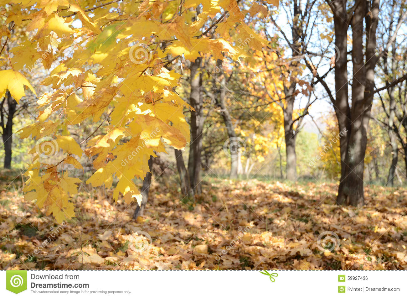 Abstract background with yellow maple leaves in autumn forest in the wild