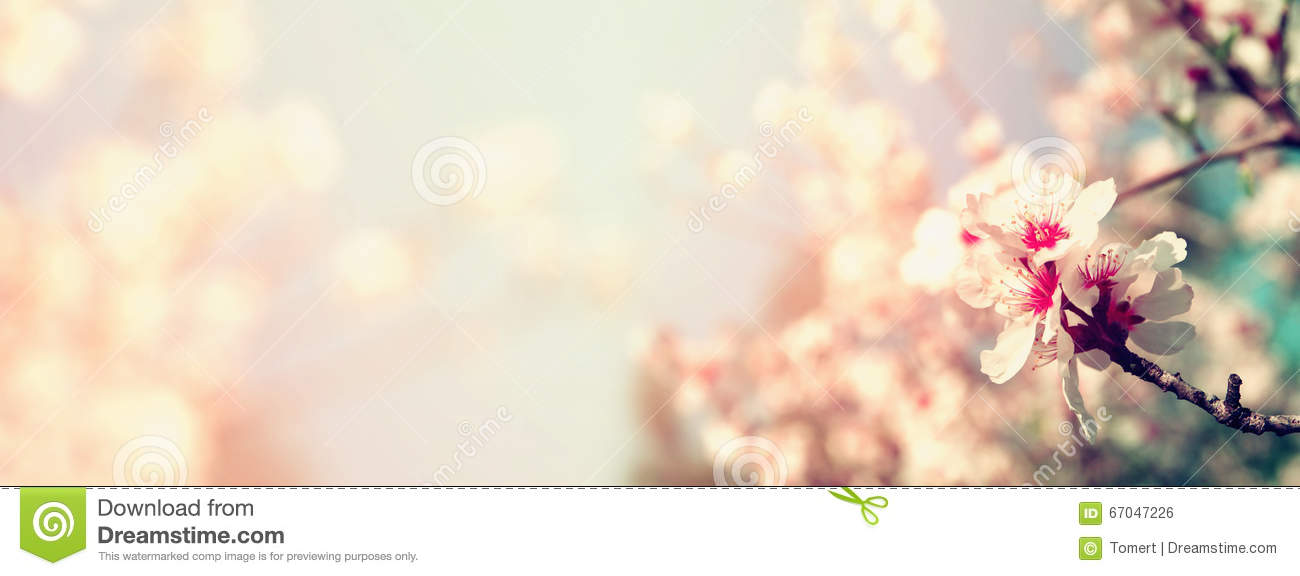 Abstract blurred website banner background of of spring white cherry blossoms tree. selective focus. vintage filtered