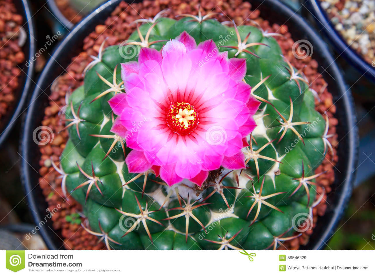 Abstract Cactus Flower Top View In Flower Pot Stock Photo