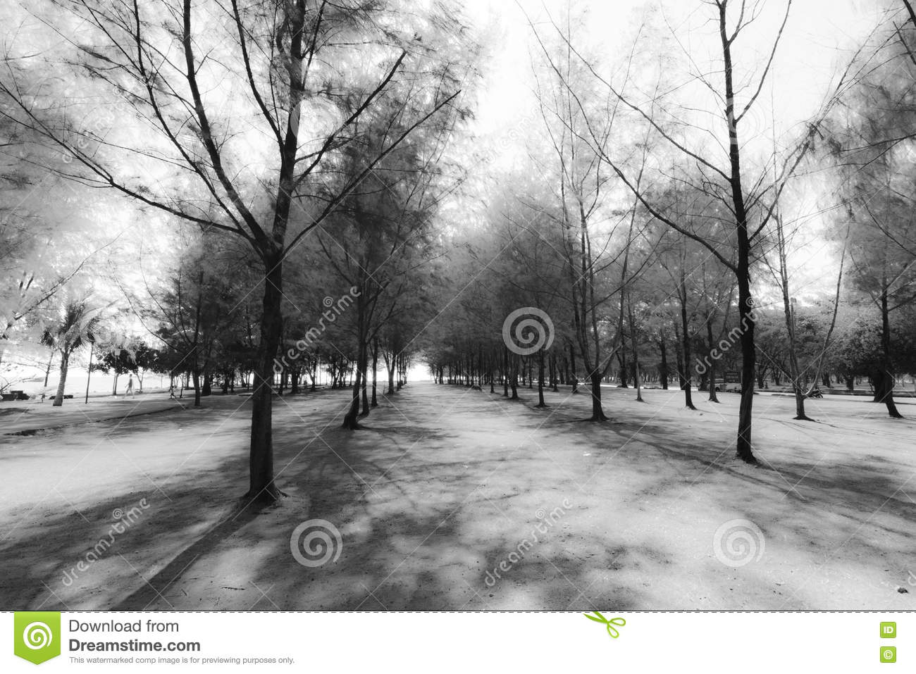 Abstract group of Pine tree black and white background