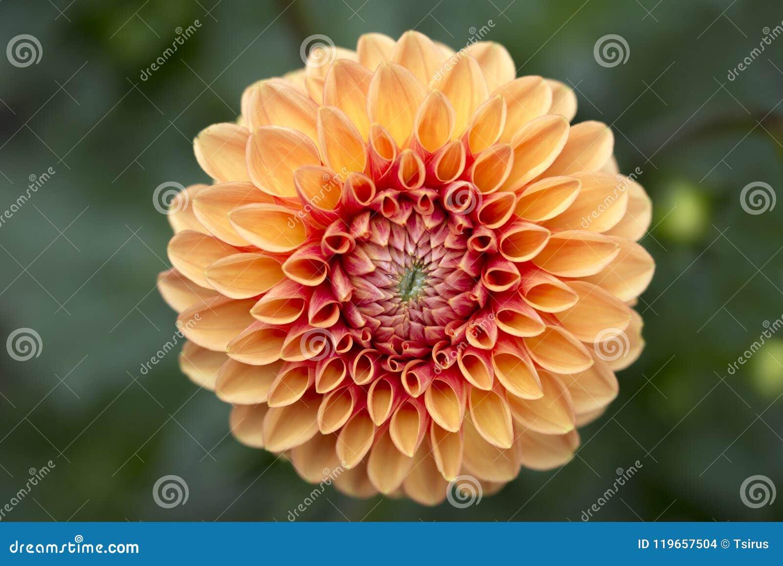 Abstract Macro Of Orange Dahlia Flower Stock Photo Image Of