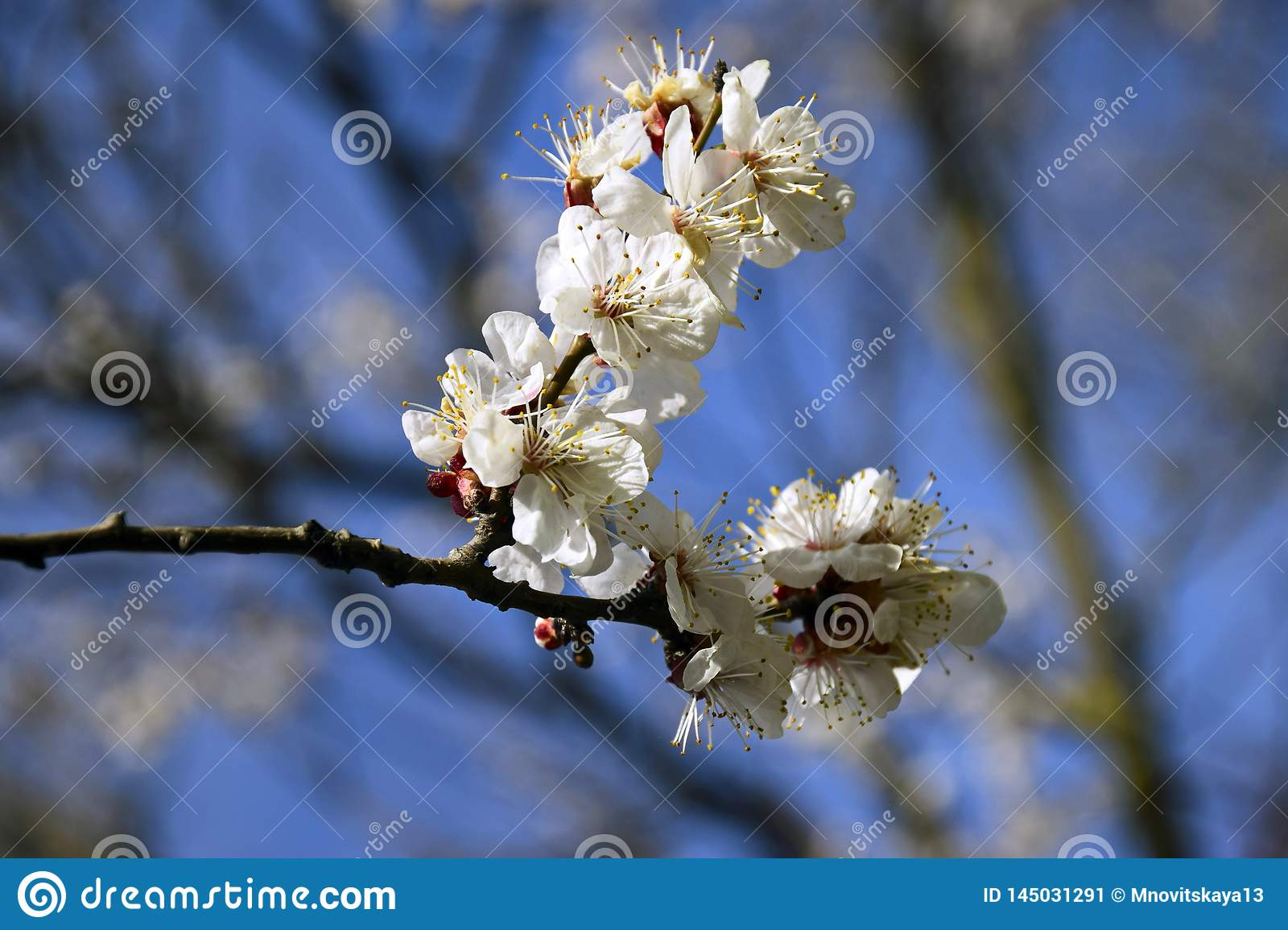 Abstract Natural Backgrounds With Blossom Delicate Apricot Flowers