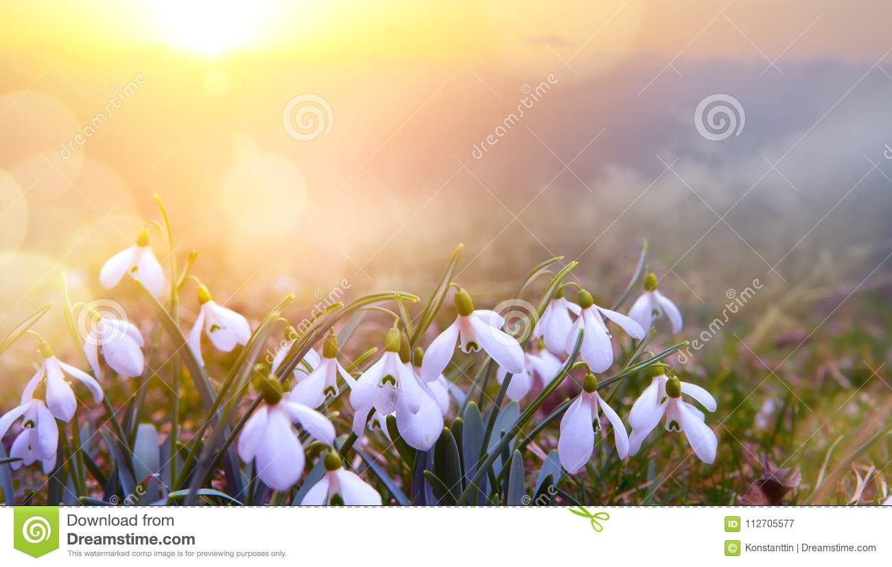 Abstract Nature Spring Background Snowdrop Spring Flower Stock
