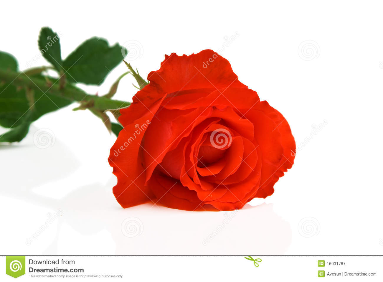 Beautiful Single Red Rose Flower Isolated Royalty Free: Abstract Photo Of Rose Flower Royalty Free Stock