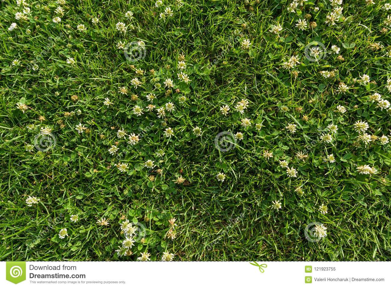 Abstract texture background, natural bright green grass with white flowers of clover, close-up lawn carpet, top view.