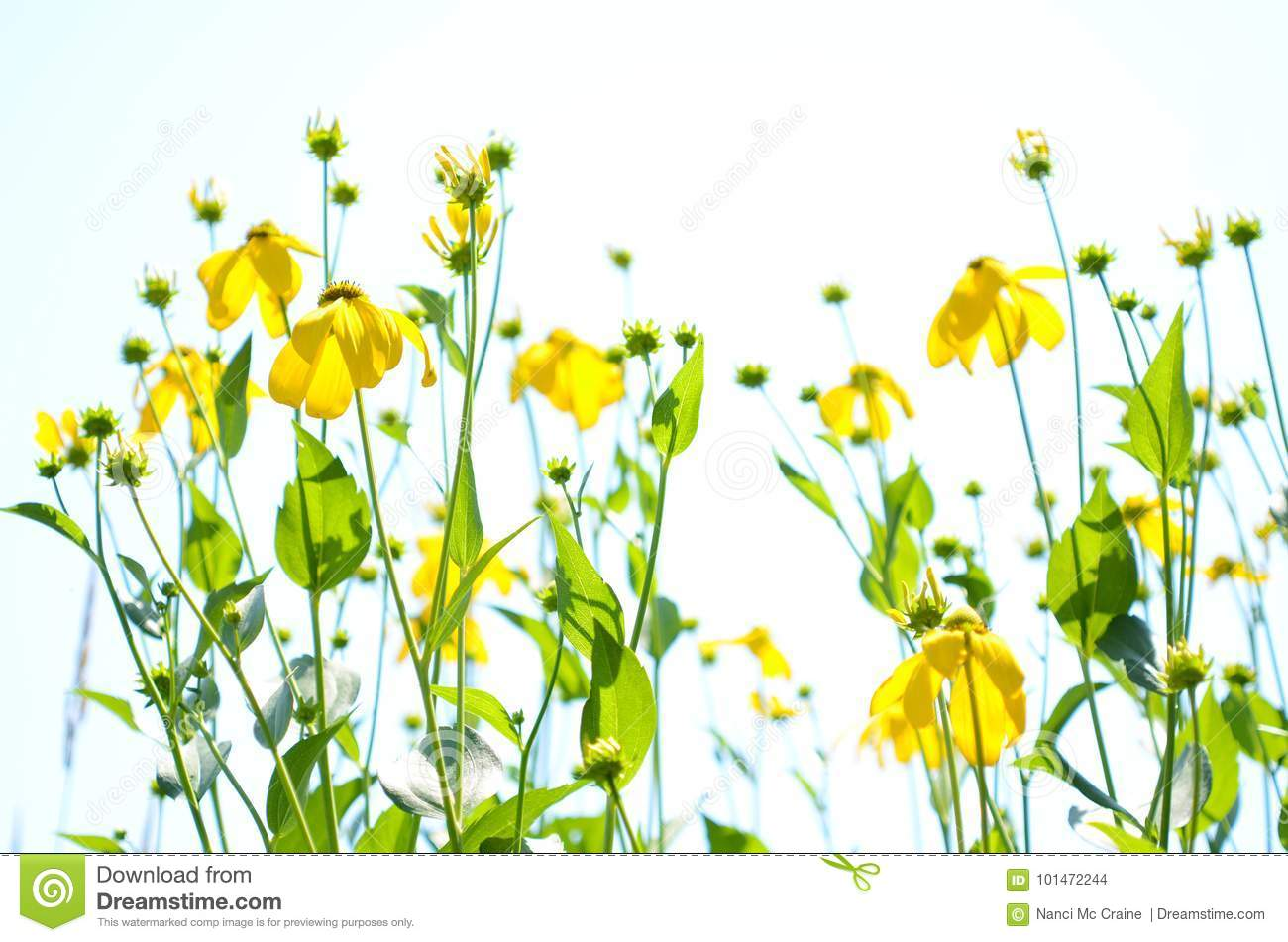 Abstract Yellow Flowers In Field Against White Sky Copyspace Stock