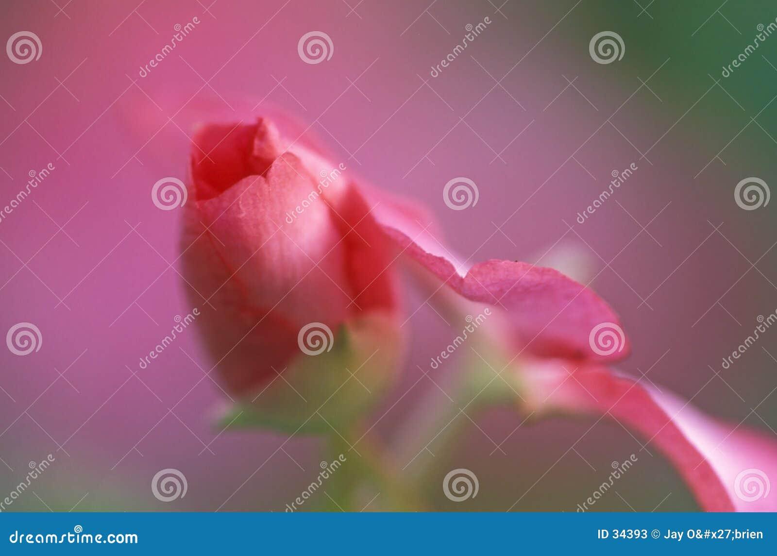 Abstrait rose