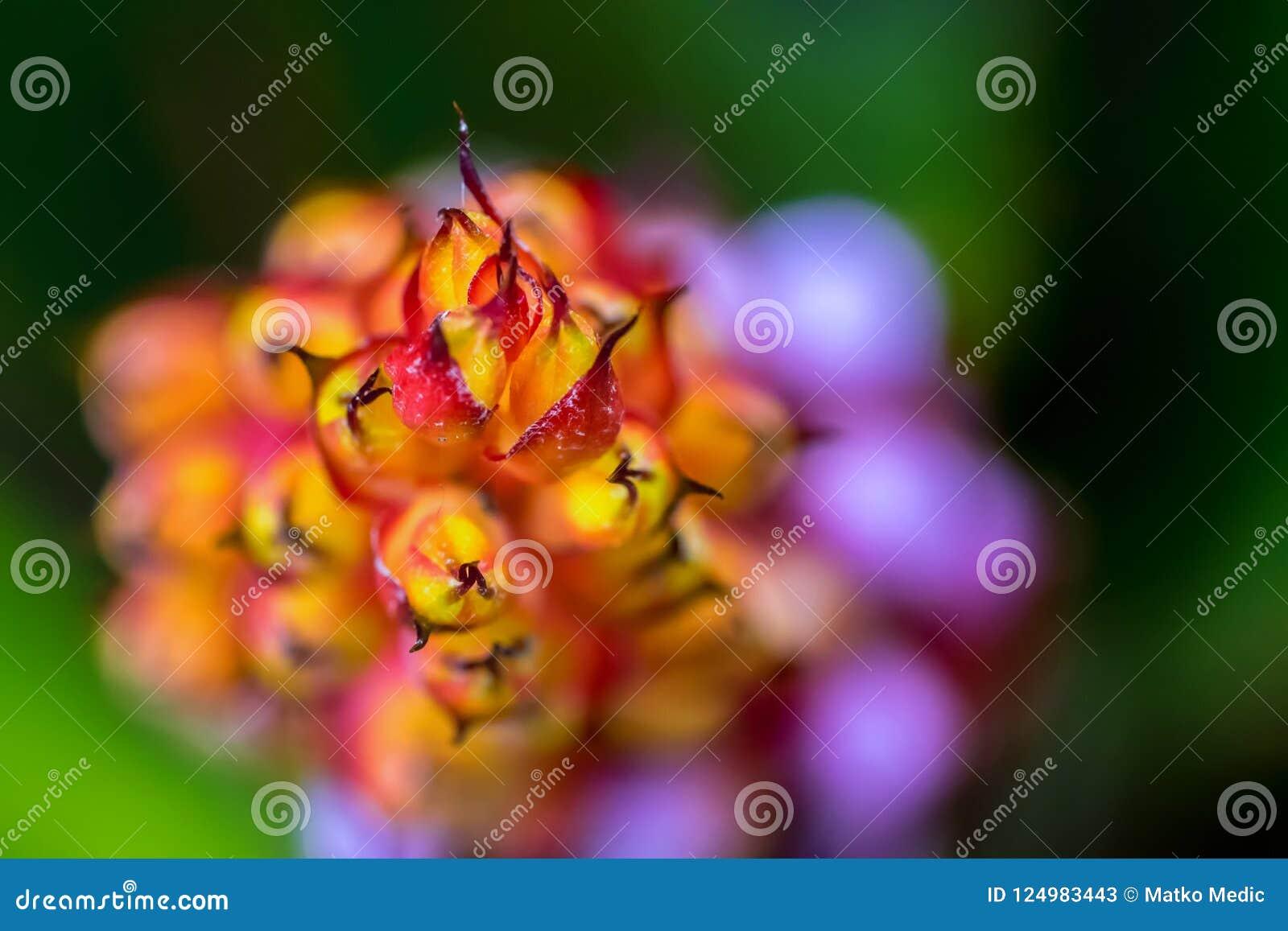 Abstrakcjonistyczna makro- fotografia pomarańcze, purpury i menchie, kwitniemy